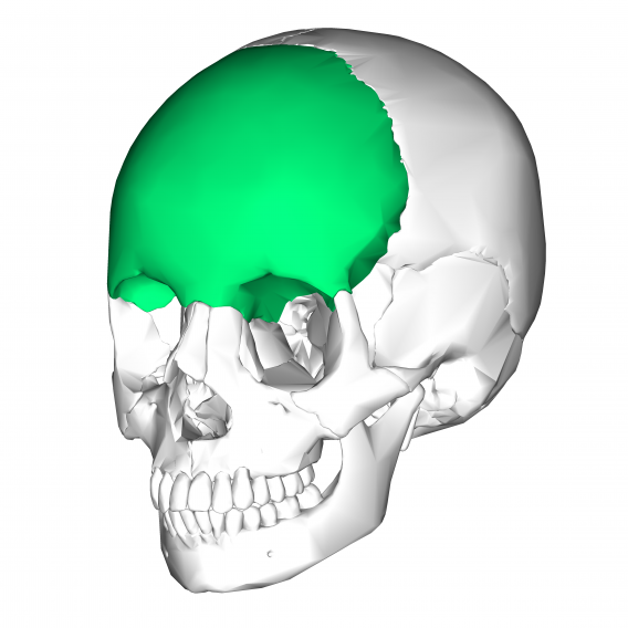Frontal_bone_lateral3
